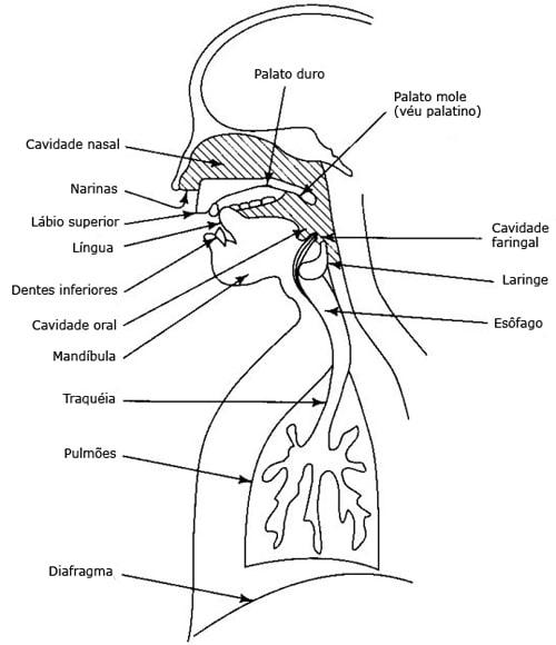 A imagem mostra um aparelho fonador do corpo humano.